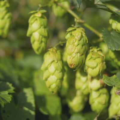 Hops growing during summer in nature used for beer brewing