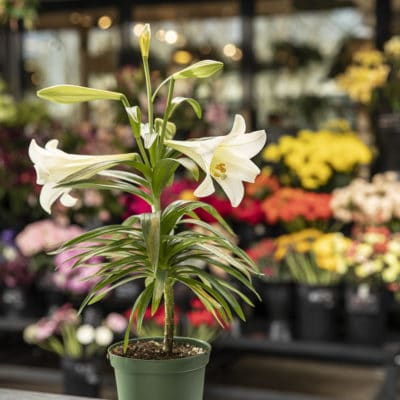Easter Lily - Plastic Pot
