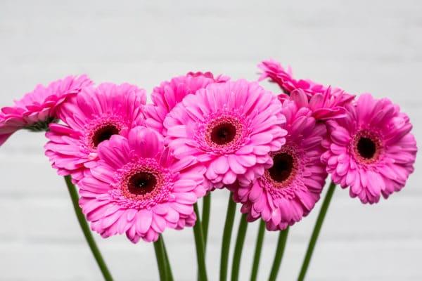 Pink Gerbera Daisies