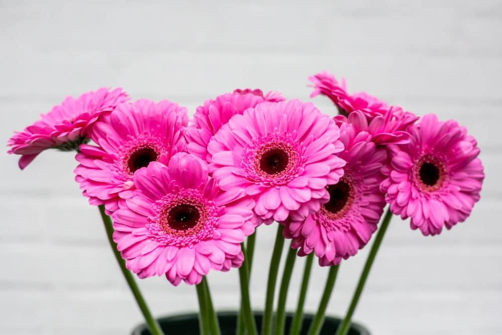 Pink Mini Gerbera Daisies