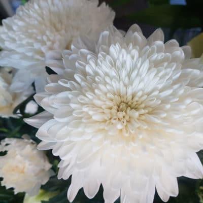 white disbud chrysanthemum flower
